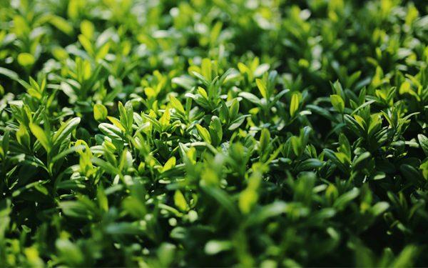 Le siepi di Ligustro sono molto utilizzate per definire gli spazi del giardino