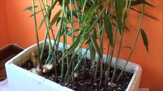 coltivazione dello zenzero