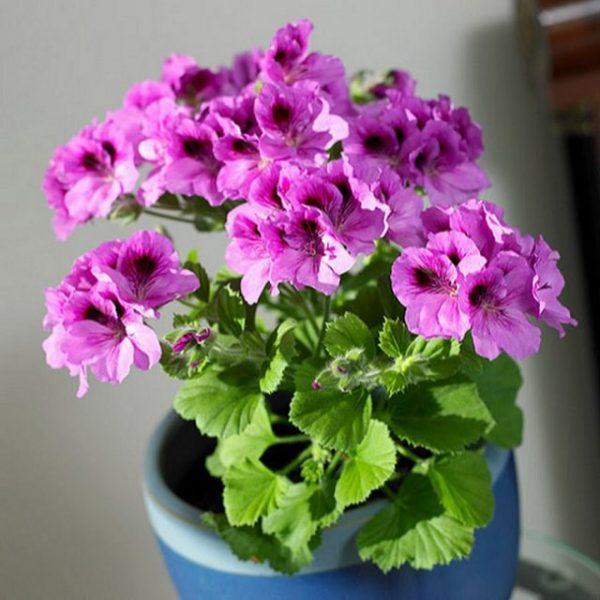 l termine geranio si riferisce alle piante di Pelargonium, un genere appartenente alla famiglia delle Geraniacee e originario del Sud-Africa