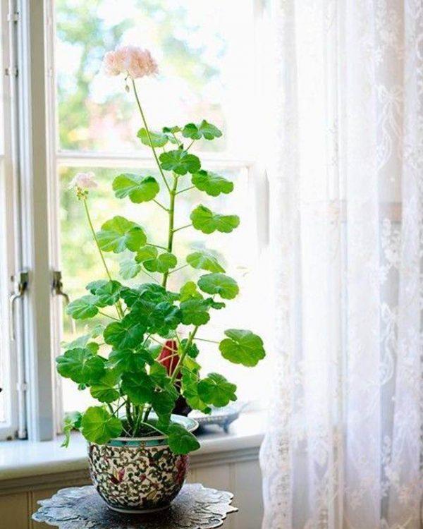 I gerani hanno bisogno di un'esposizione molto soleggiata, se coltivati in esterno andranno posizionati in una zona dove ricevano almeno 6/8 ore di luce solare diretta al giorno
