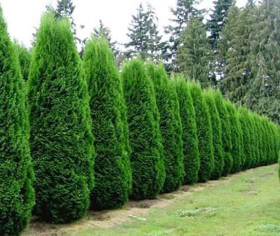una fila di cipressi; oltre a creare un ambiente suggestivo possono rappresentare un'ottima soluzione per coprire visivamente una brutta recinzione o un alto muro