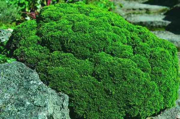 Il Cipresso giapponese (Chamaecyparis obtusa) conosciuto anche con il nome di cipresso Hinoki, è un arbusto che viene spesso utilizzato per la coltivazione come bonsai