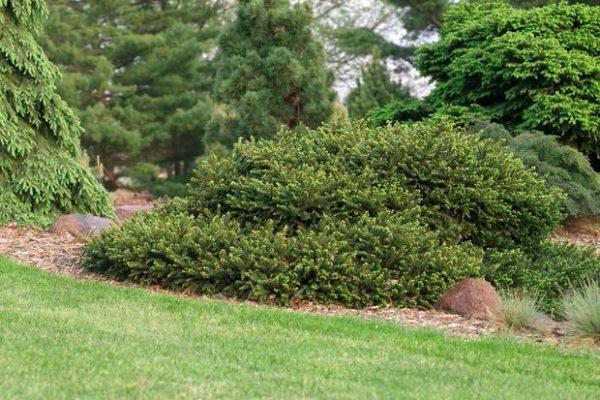 L'abete rosso, o Peccio (Picea abies), nella sua varietà nana è un arbusto che supera di poco il metro di altezza