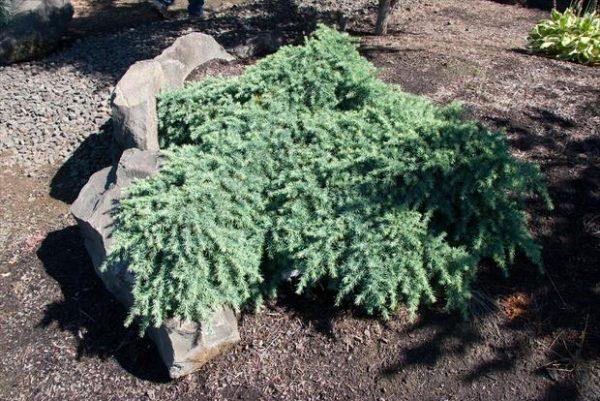 Il cedro dell'Himalaya (Cedrus deodara) è una specie nativa del versante occidentale dell'Himalaya, dove cresce ad alta quota