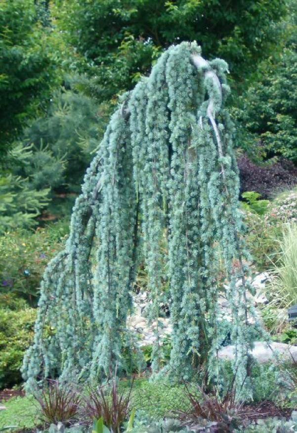 Il cedro dell'Atlante (Cedrus atlantica), è un albero appartenente alla famiglia delle Pinaceae