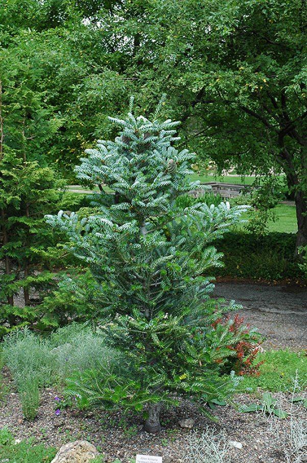 L'Abete coreano, Abies koreana, è un piccolo albero dalla forma piramidale che supera di poco i 3,5 metri