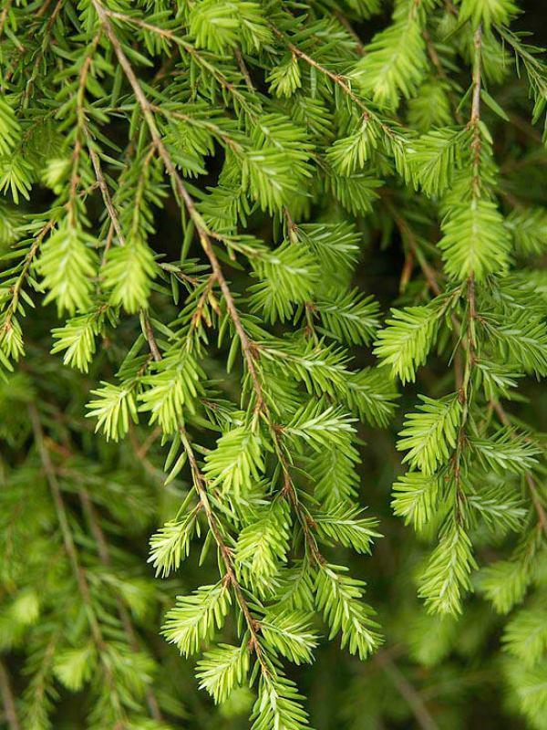 La Tsuga canadensis, appartenente al genere delle Pinacee, una grande famiglia che comprende conifere sempreverdi originarie del Nord America e dell'Asia dalle notevoli dimensioni