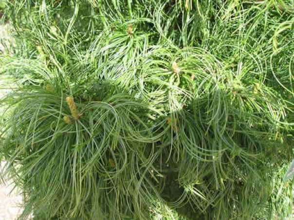 Il pino strobo, detto anche pino bianco americano, è una grande conifera originaria del Nord America