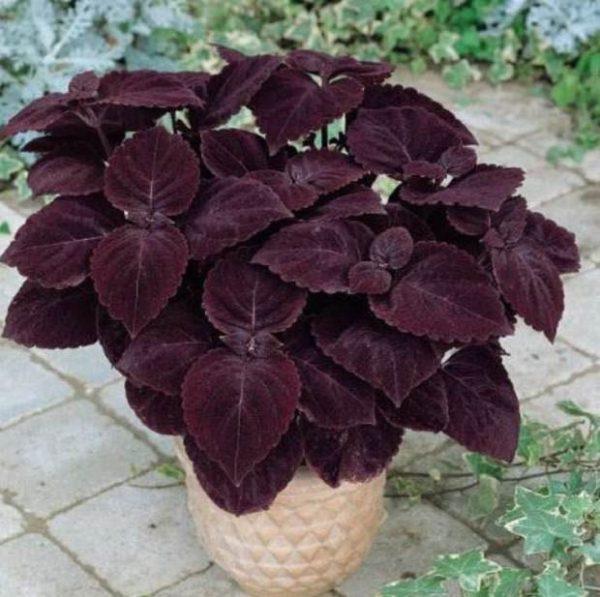 Il genere Coleus, Coleus blumei, è una pianta d'appartamento molto utilizzata a scopo ornamentale