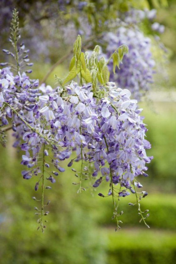 Fioritura del glicine in primavera