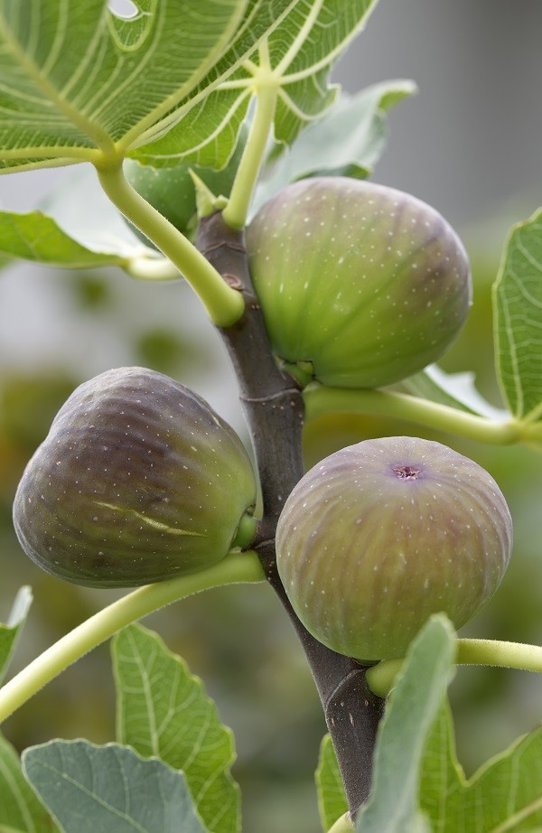 il fico è un albero mediterraneo e quindi necessita di temperature miti e di una piena esposizione al sole