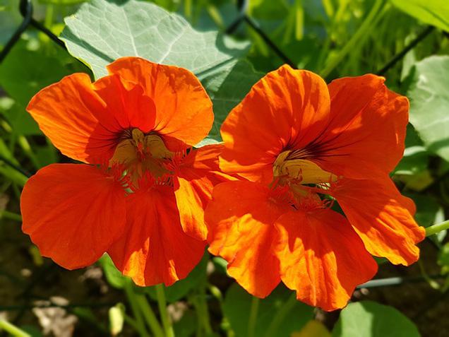 il nasturzio produce fiori coloratissimi dal sapore piccante perfetti per decorare le insalate