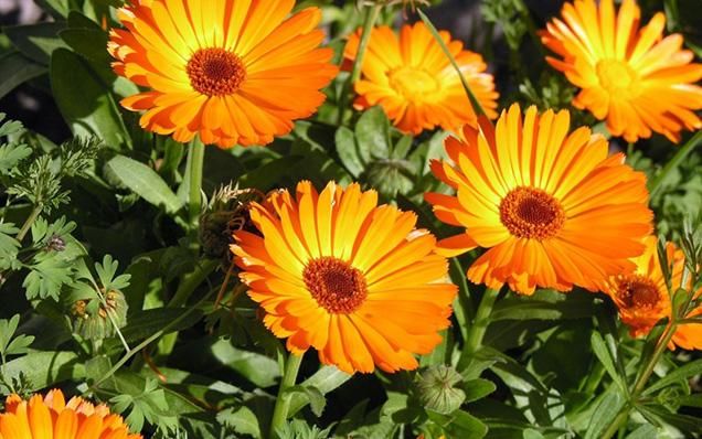 La calendula è una pianta perenne che viene coltivata come annuale; si tratta di una specie semplice da coltivare e da sempre molto apprezzata come pianta ornamentale per via delle sue colorazioni allegre e brillanti, che variano dal giallo all'arancione intenso