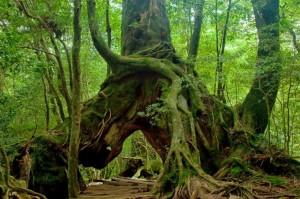 Yakushima, naturaleza y futuro unidos en la esperanza - some-trees-are-giant-in-yakushima-300x199