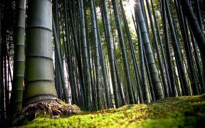 El bosque de bambú - bosque-bambu-4-300x187