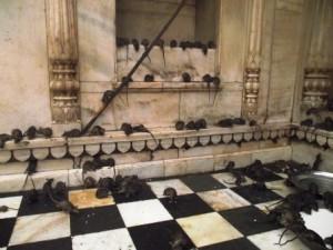 El templo de las ratas del Rajasthán - karni-mata-temple-300x225