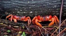 Isla de Navidad: el viaje del cangrejo rojo - Cangrejos-en-la-selva-300x163