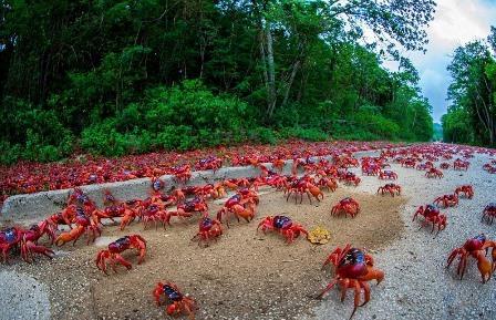 Isla de Navidad: el viaje del cangrejo rojo