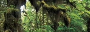 Bosque de Hoh (Washington, EE.UU.) - Hoh-Rainforest-WA-1-300x107