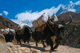 Trekking con Banoa - Yak-train-trekking-nepal-300x200