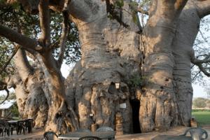 Sunland Baobab, el árbol Pub. - baobad_pub_monllar-300x200