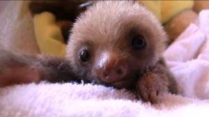 Sloth Sanctuary y los perezosos - 345959-300x168