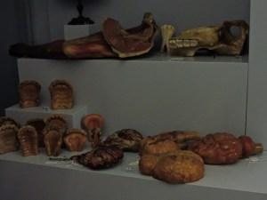 Museo Veterinario Complutense -Conjunto de vísceras en cera.