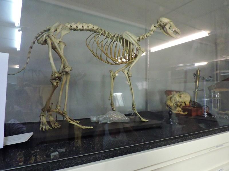 Museo Veterinario Complutense - Malformación en perro, que muestra cuatro pies y tres fémures.