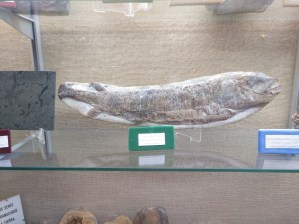 Museo Religioso-Paleontológico - Belonostomus del Cretácico.