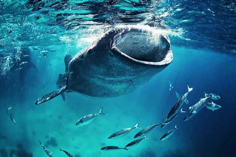 Tubarão Baleia em Holbox