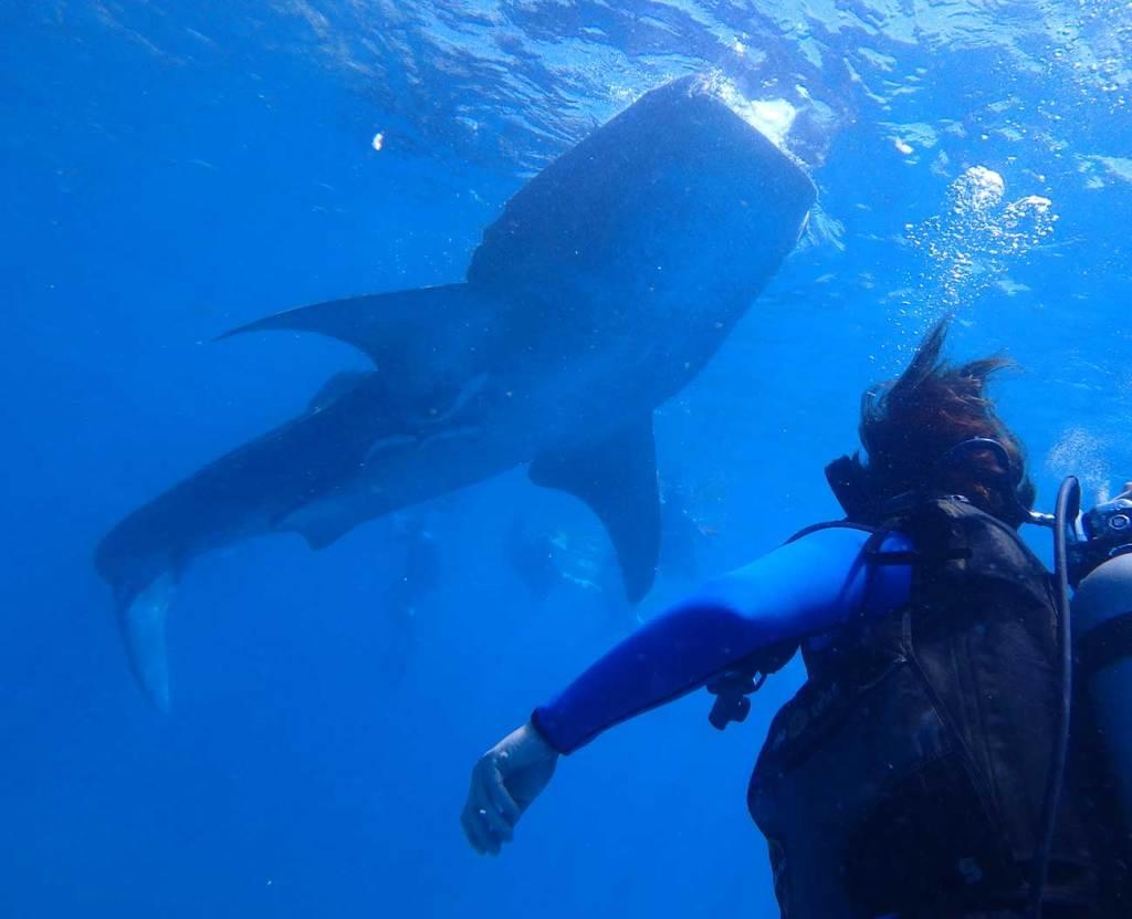 tubarão baleia Cebu
