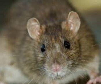 Plagas de ratas y ratones