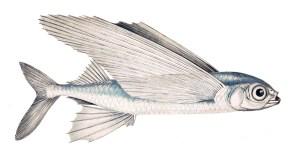 pesce volante