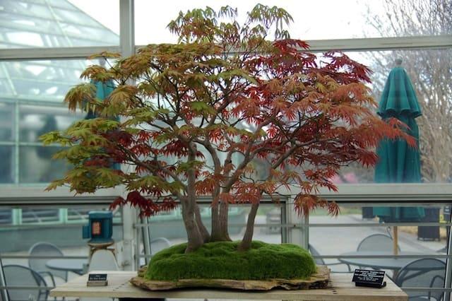 bonsai dai rami rossi