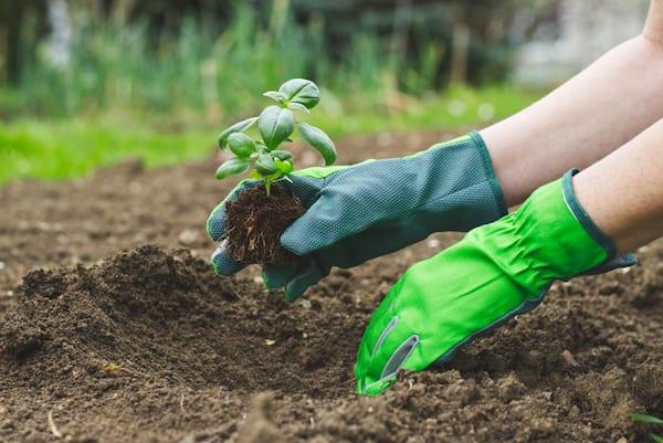 mano con guanto che pianta una pianta di basilico nella terra dell'orto o di un giardino