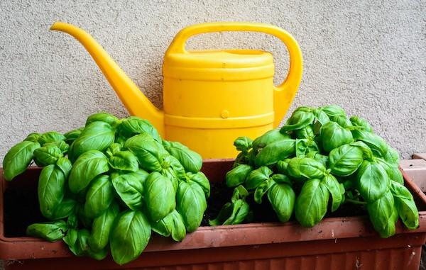 annaffiatoio per l'irrigazione del basilico, vicino alle piante