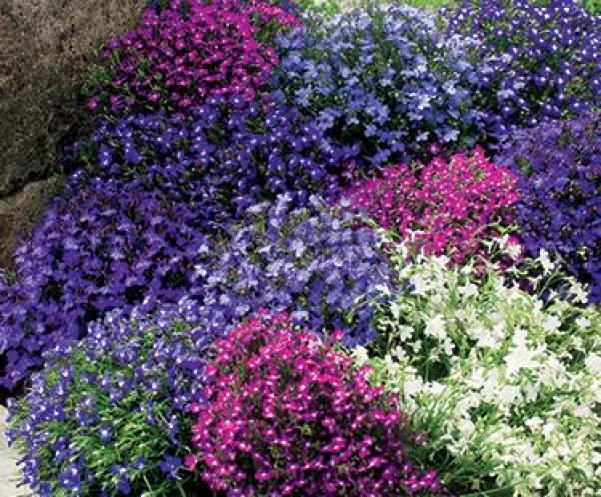 La Lobelia è una pianta originaria del Sud Africa ma può essere facilmente coltivata in qualsiasi clima mediterraneo