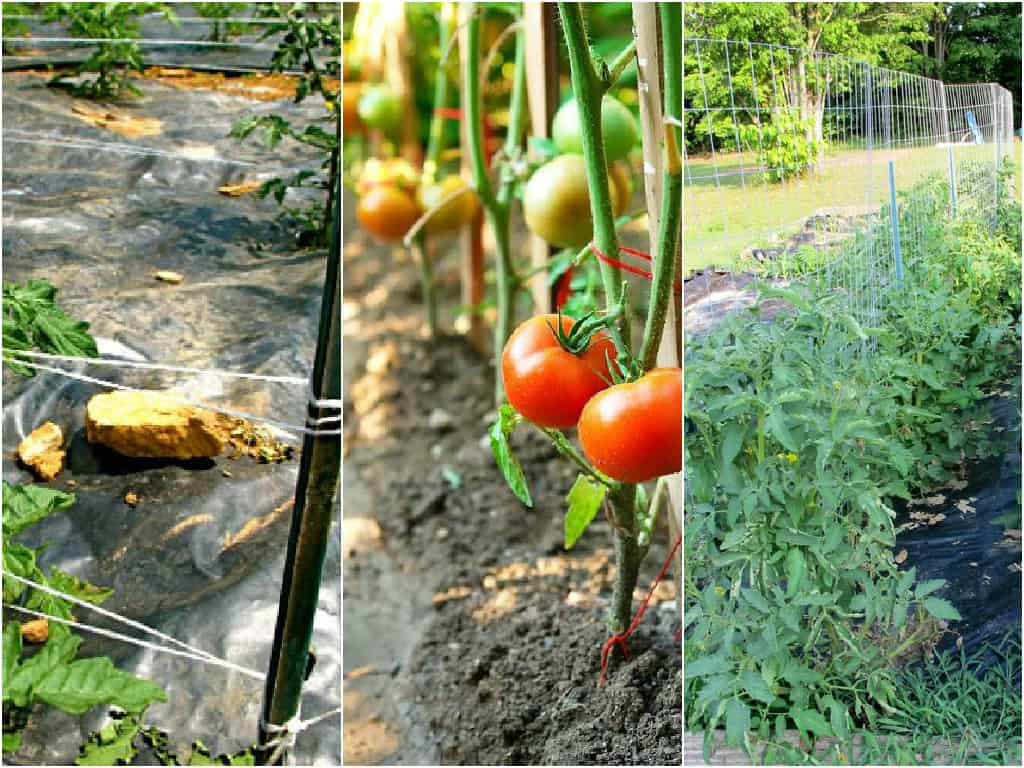 5 strutture per sostenere le piante di pomodoro