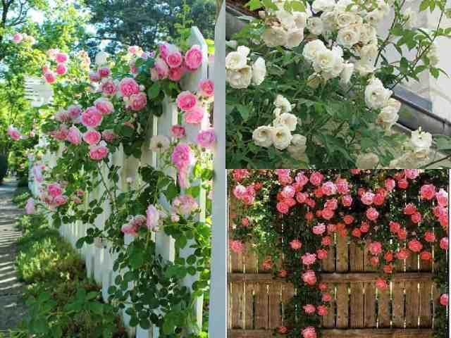 Ricoprire la recinzione con rose rampicanti alcuni for Piante da giardino rampicanti