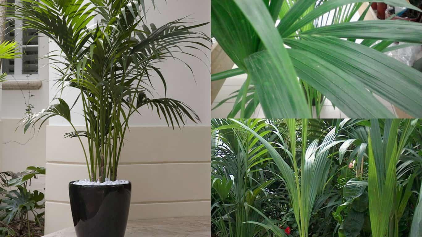 Palme Da Vaso Per Esterno decorare la casa con le palme - guida giardino