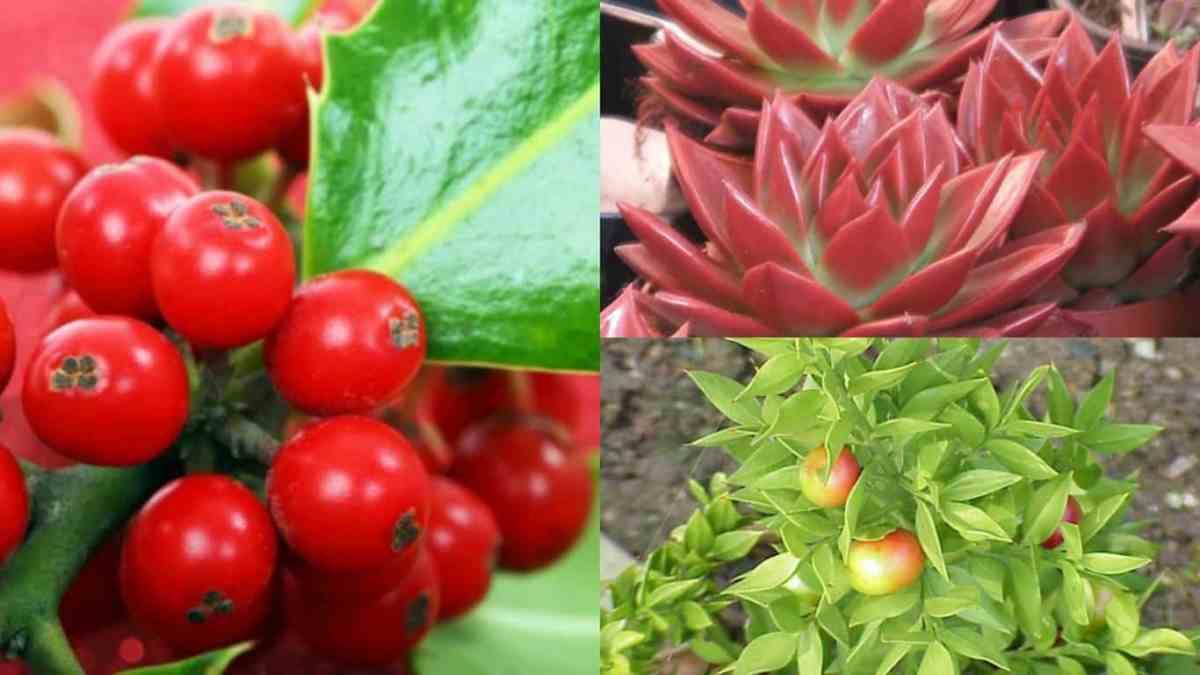 5 meravigliose piante natalizie