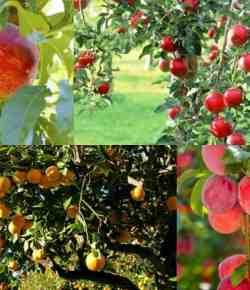 Alberi da frutto e fertilizzazione biologica: come, quando e perché