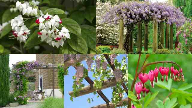 18 piante rampicanti per il pergolato guida giardino for Aiuole sempreverdi