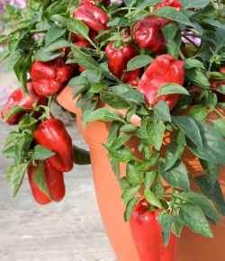 Come coltivare i peperoni in vaso