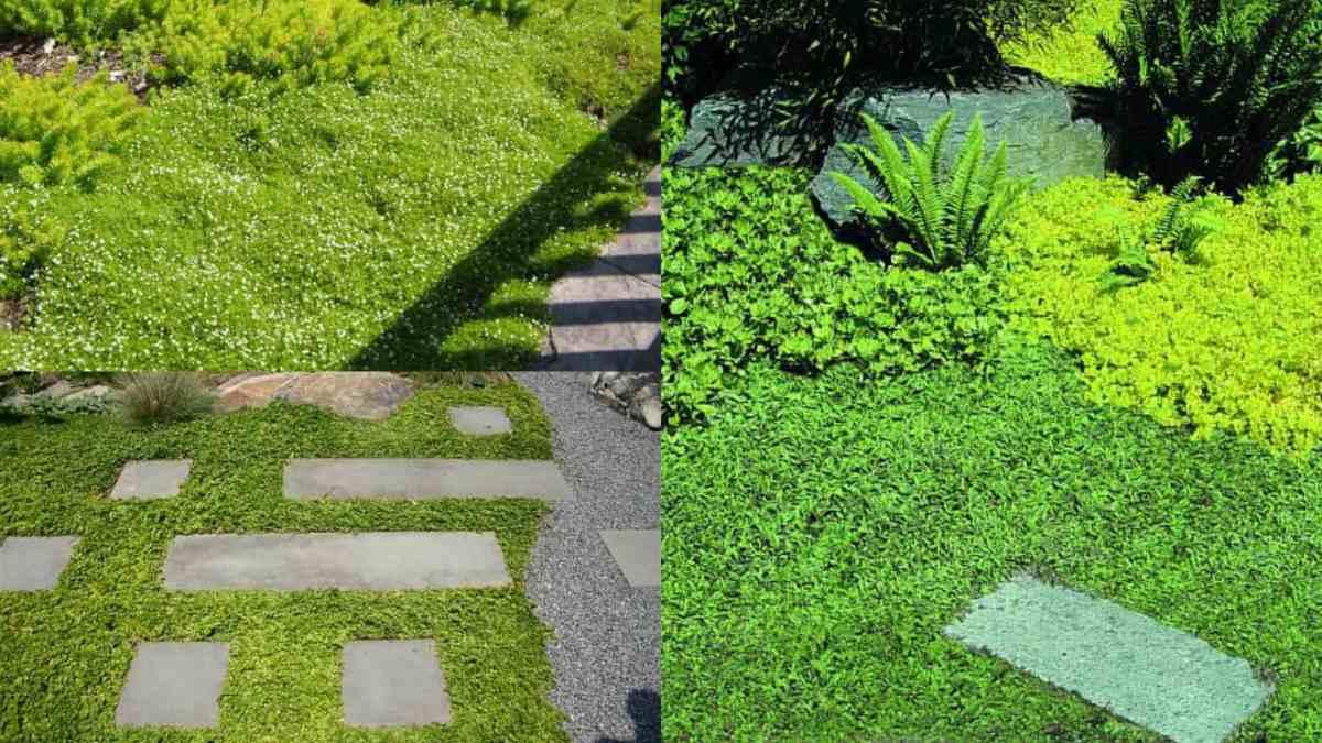 Piante tappezzanti 5 specie guida giardino for Aiuole sempreverdi