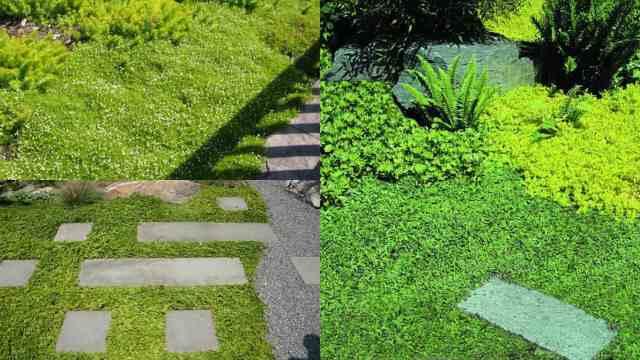 Piante tappezzanti 5 specie guida giardino - Piante basse perenni da giardino ...