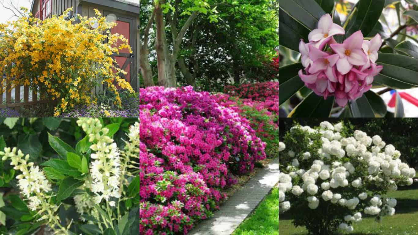 Siepi Da Giardino Fiorite : Arbusti ideali per la coltivazione in ombra guida giardino