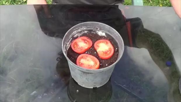 far germogliare un pomodoro