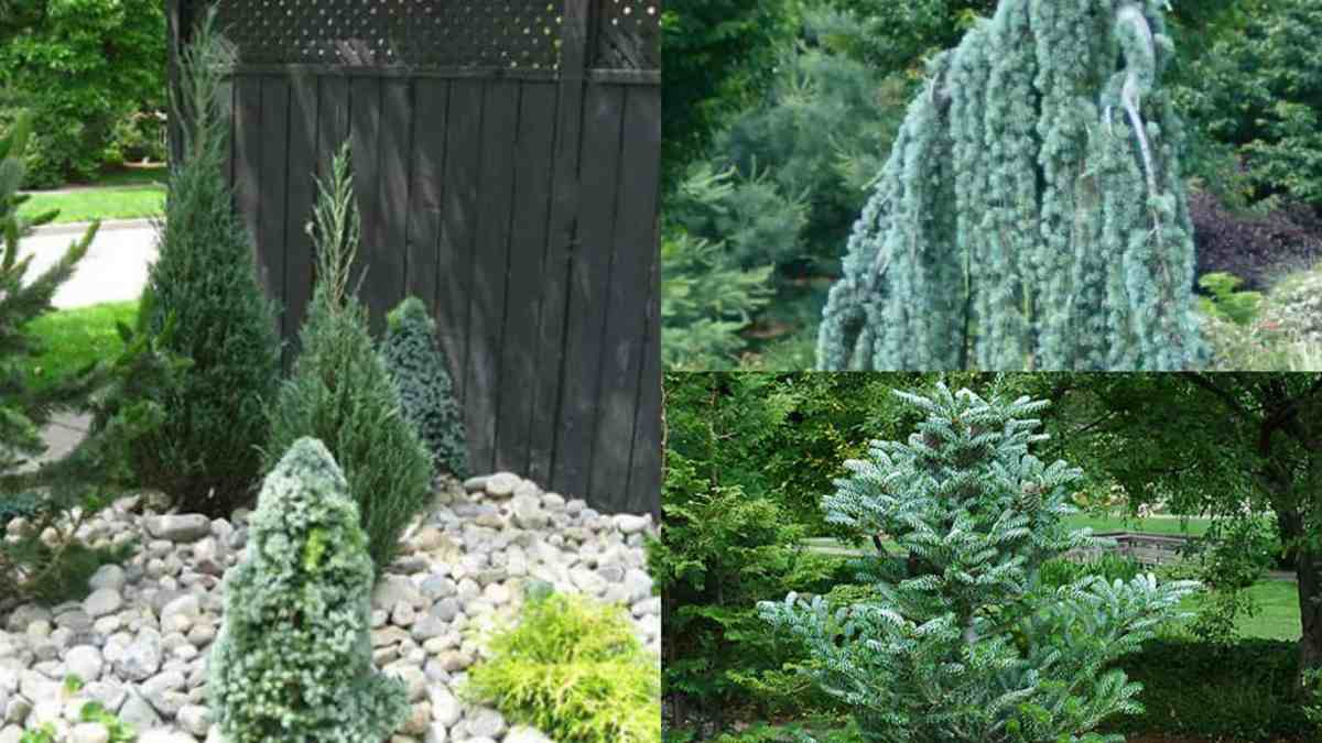 Creare un magnifico paesaggio naturale con le conifere for Conifere da giardino