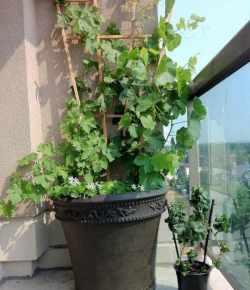 Come coltivare la vite in vaso